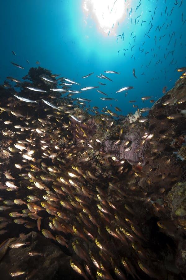 Océan, glassfish et barracudas photographie stock libre de droits