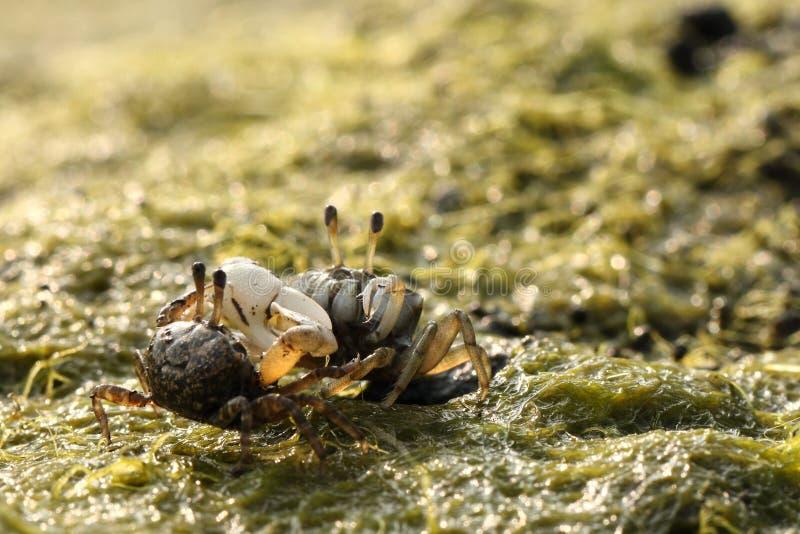 Océan mignon de crabe de violoneur intertidal images stock