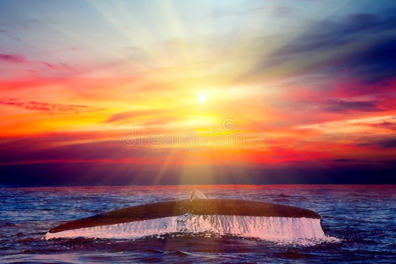 Océano de la puesta del sol de la aleta de cola de la ballena jorobada imágenes de archivo libres de regalías