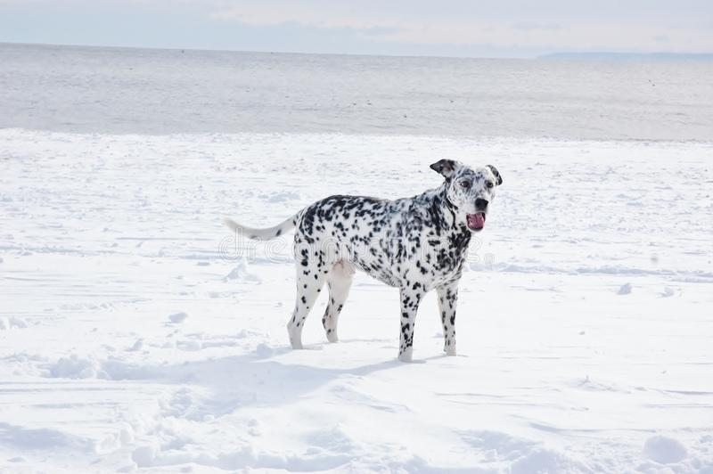 Océano del invierno de la nieve de los dalmatians del perro foto de archivo