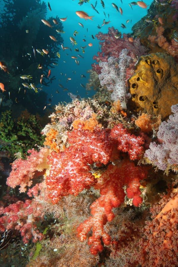 Océano del mar de Indonesia de la vida que se zambulle coralina imagen de archivo libre de regalías
