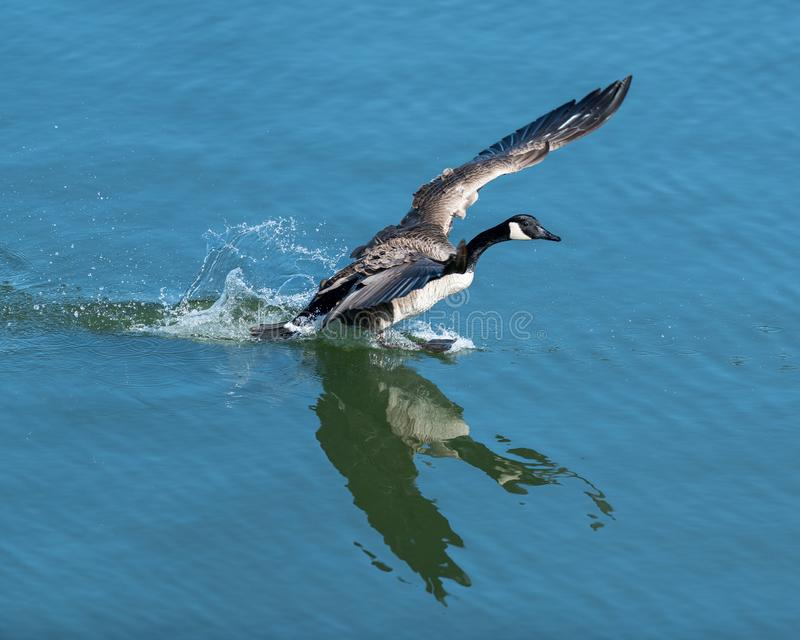 Oca canadese che prepara decollare dall'acqua fotografie stock