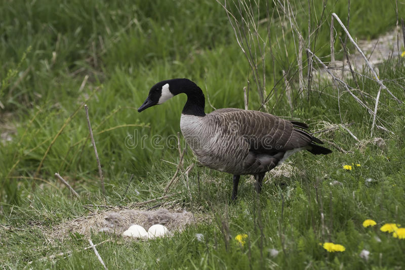 Oca del Canada, canadensis del Branta al nido immagine stock