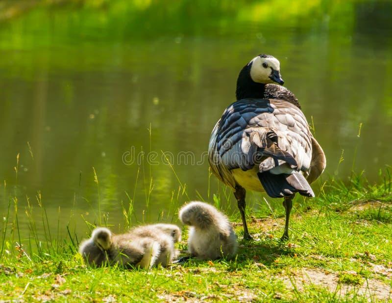 Oca di chiocciare della madre con le papere giovanili sul lato dell'acqua, specie tropicale dell'uccello dall'America immagini stock libere da diritti