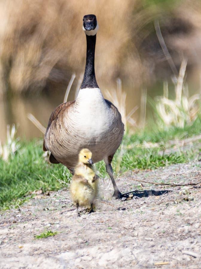 Oca e Gosling del Canada fotografia stock libera da diritti