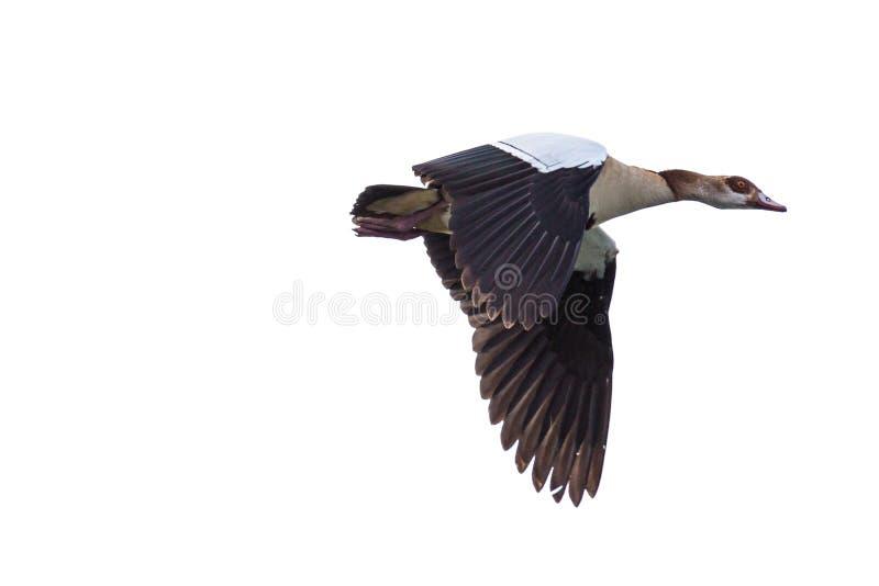 Oca egiziana nel metà di volo fotografia stock