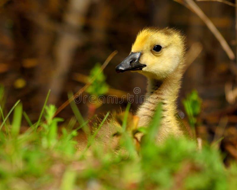 Download Oca Gosling del Canada fotografia stock. Immagine di nave - 30826942