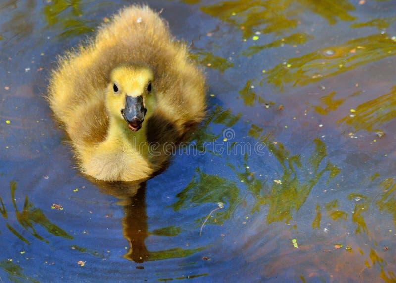 Download Oca Gosling del Canada immagine stock. Immagine di palude - 30826961
