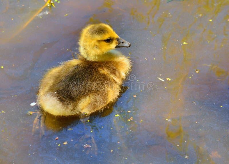 Download Oca Gosling del Canada fotografia stock. Immagine di neonato - 30826974
