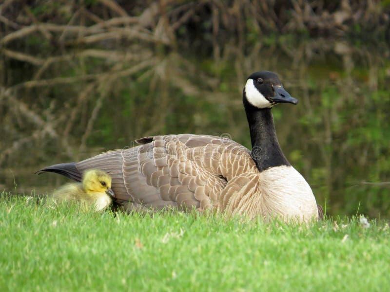 Oca Gosling del Canada del bambino ed oca del Canada della madre immagini stock