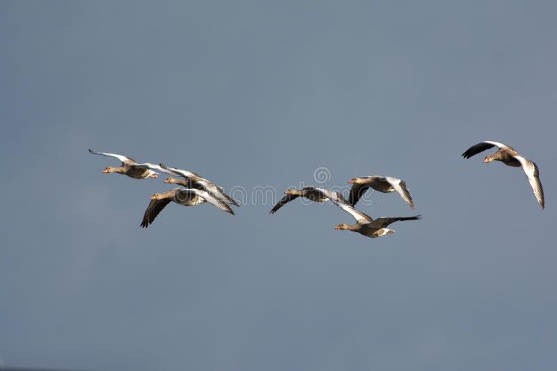 Oca grigia sulla costa occidentale della Svezia immagini stock