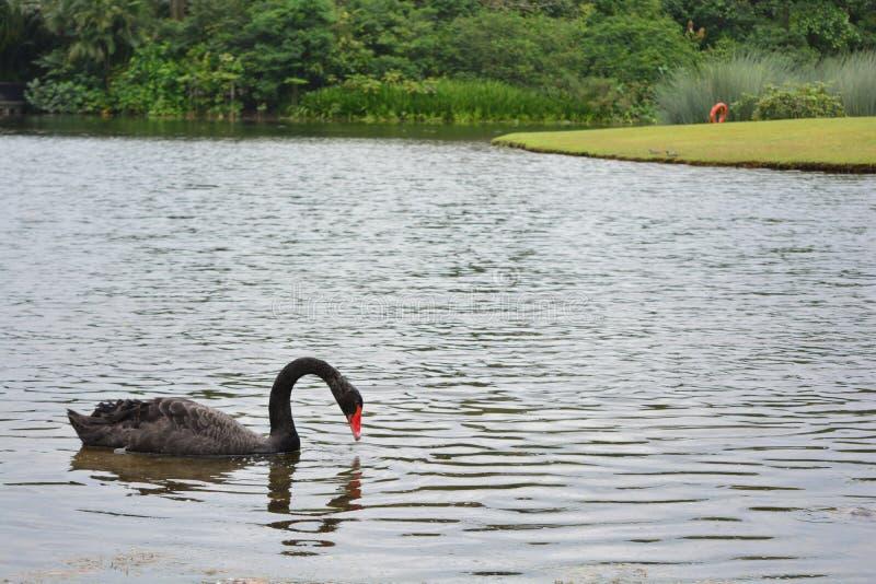 Oca nera al giardino botanico di Singapore immagini stock libere da diritti