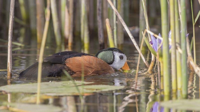 Oca pigmea africana che si alimenta nel lago fotografie stock