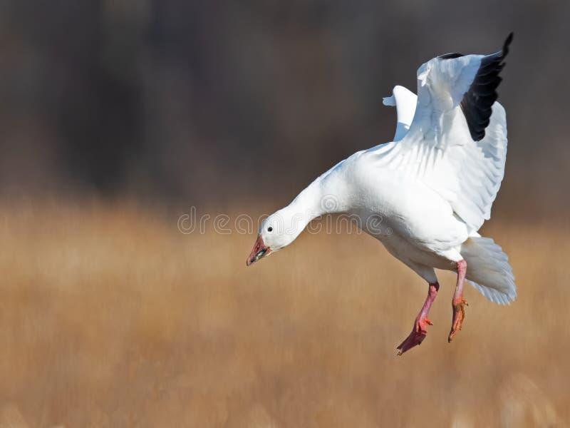 Oca polare che atterra in volo fotografia stock