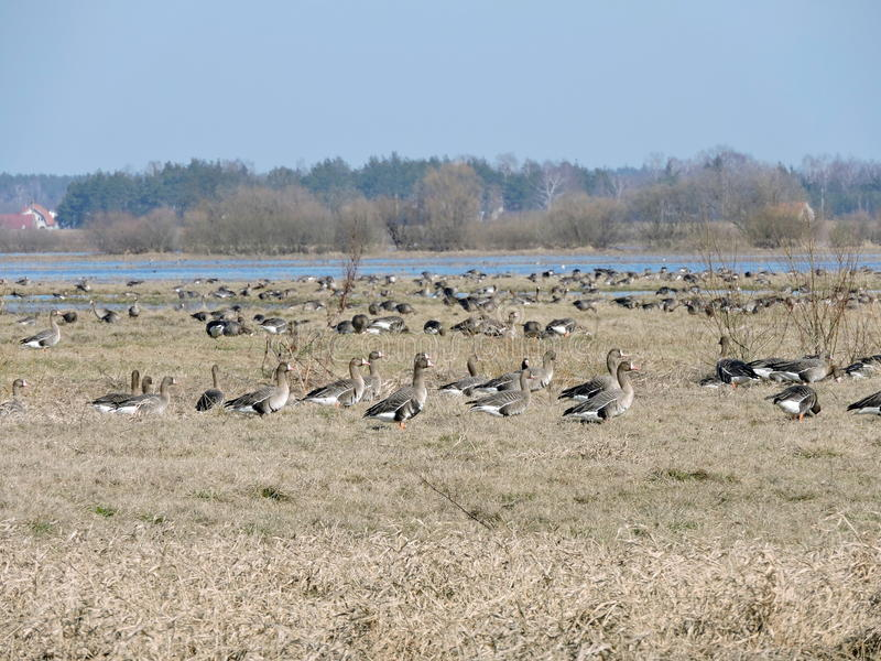 Oca selvatica, Lituania fotografia stock libera da diritti