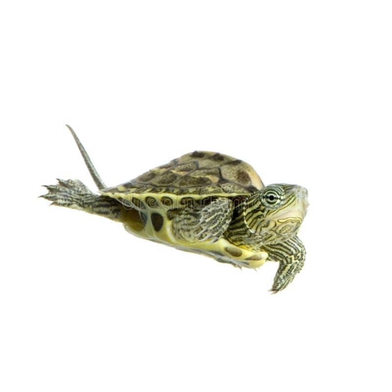 ocadia sinensis żółwia obrazy stock