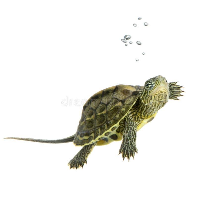 ocadia sinensis żółwia zdjęcie stock