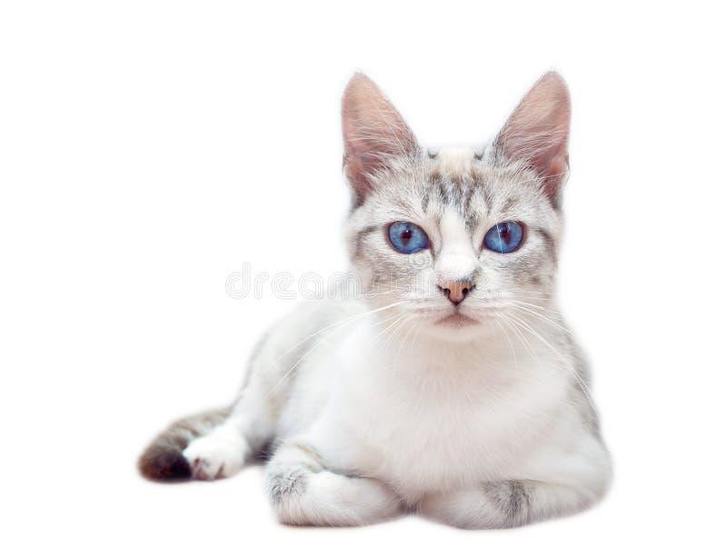 Occhi azzurri bianchi del gatto su fondo bianco fotografia stock