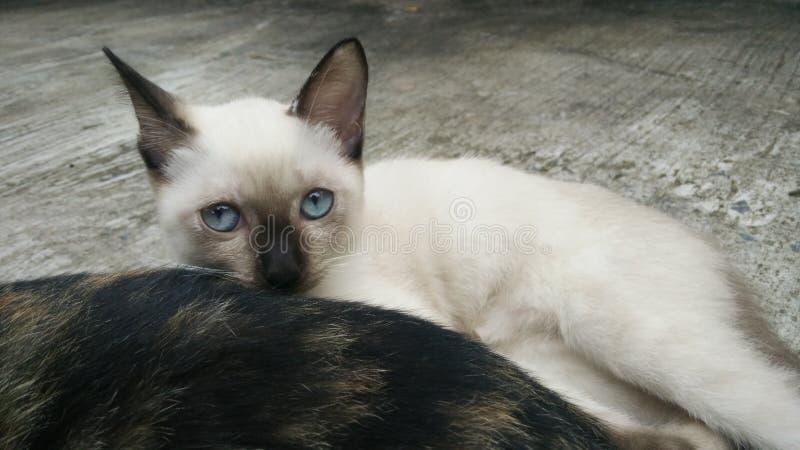 Occhi azzurri degli ibridi del gattino del gatto siamese immagine stock