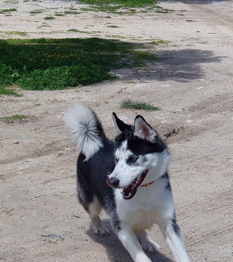 occhi azzurri di siberiano del husky immagini stock libere da diritti