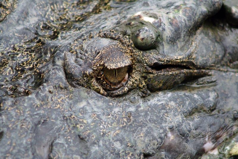 Occhi dei coccodrilli immagine stock libera da diritti