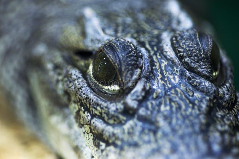 Occhi del cacciatore feroci ed ardui dei coccodrilli Fine dell'occhio del coccodrillo su fotografie stock