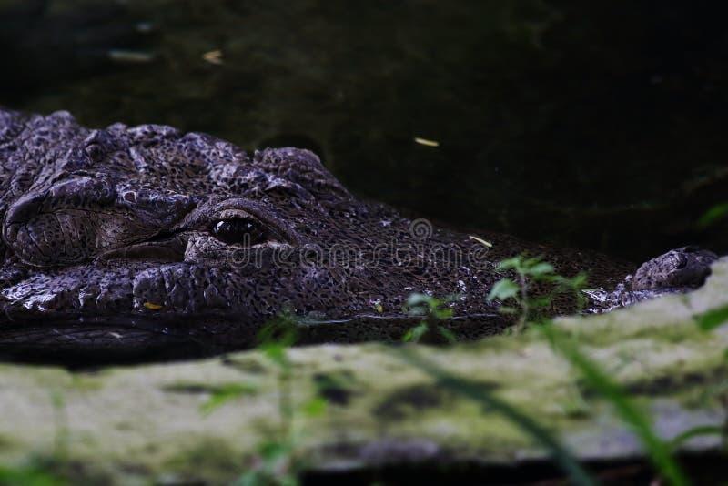 Occhi del coccodrillo immagini stock libere da diritti
