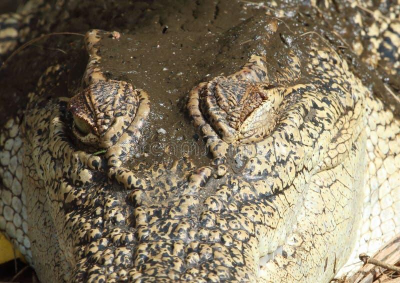 Occhi del coccodrillo fotografia stock libera da diritti