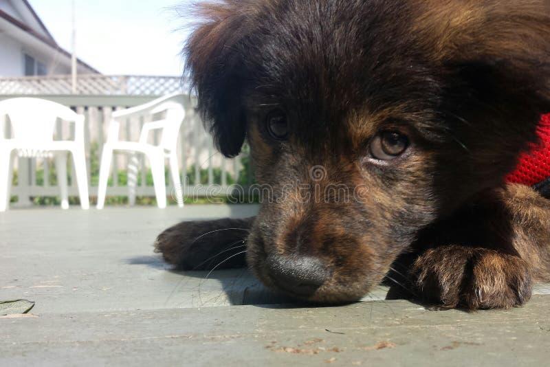 Occhi del cucciolo fotografia stock