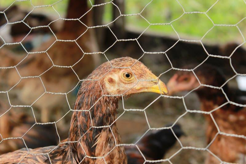 Occhi del pollo fotografia stock
