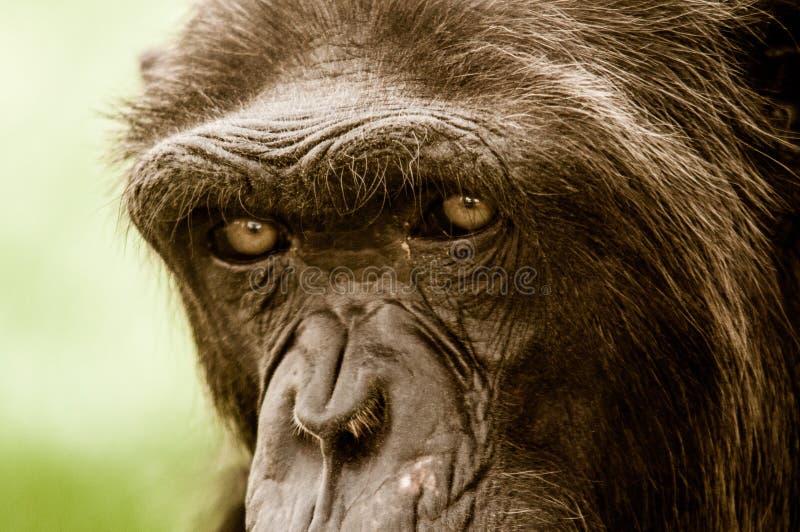 Occhi della scimmia fotografia stock