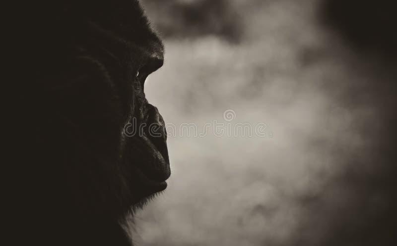 Occhi della scimmia della gorilla fotografia stock libera da diritti