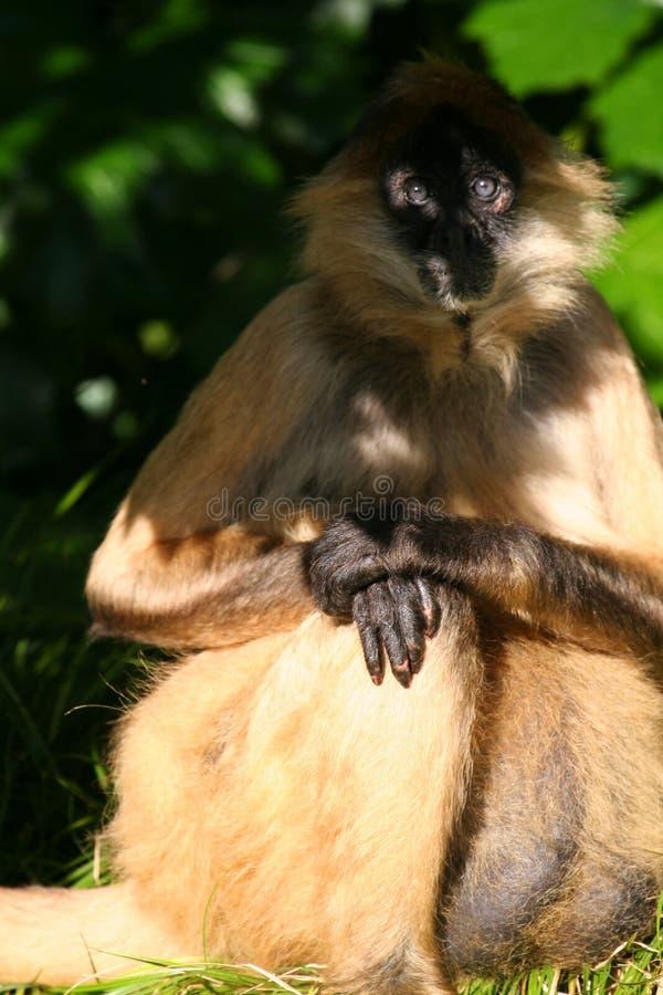 La scimmia osserva in ombra