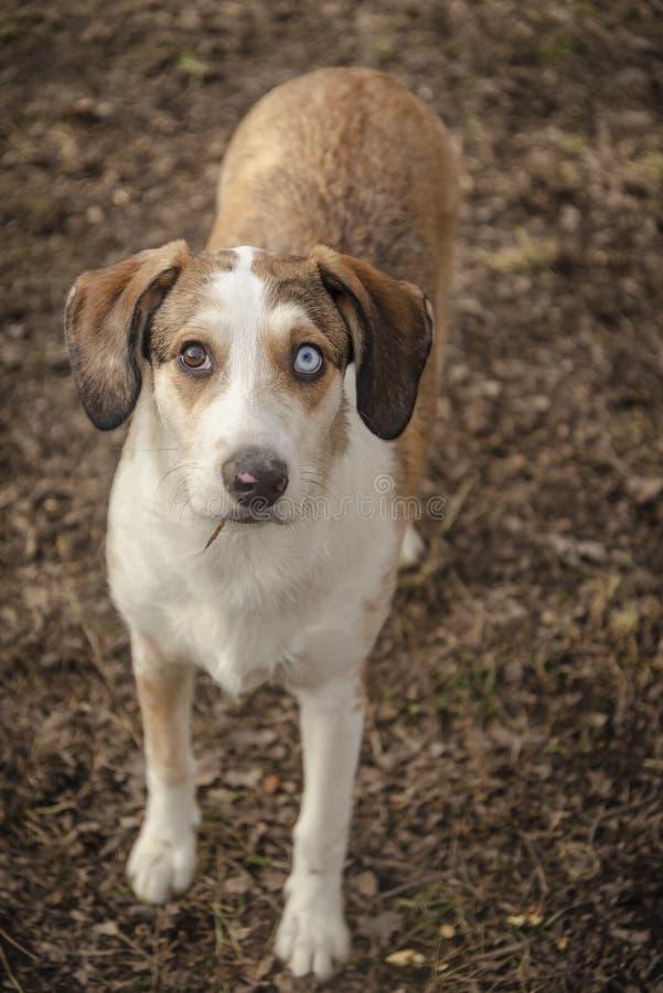 Occhi di eterocromia del fronte del cucciolo di cane fotografia stock libera da diritti