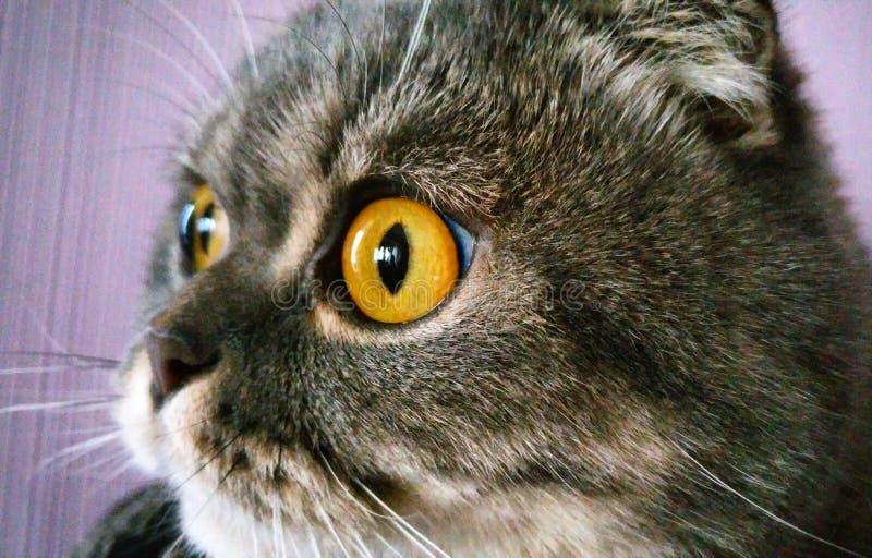 Occhi di gatti immagine stock