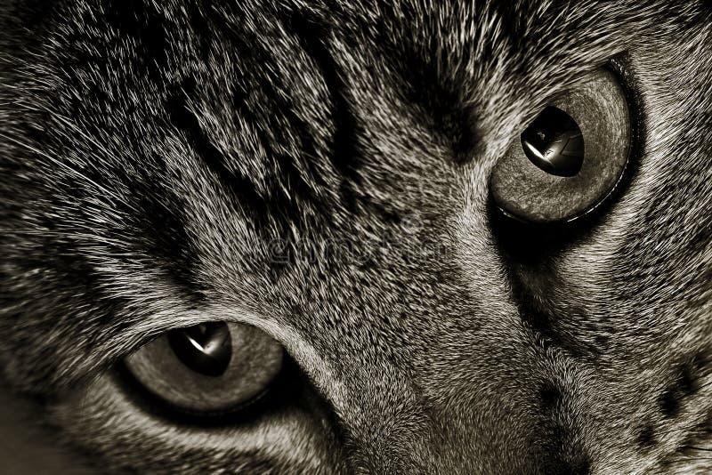 Occhi di gatti fotografie stock libere da diritti