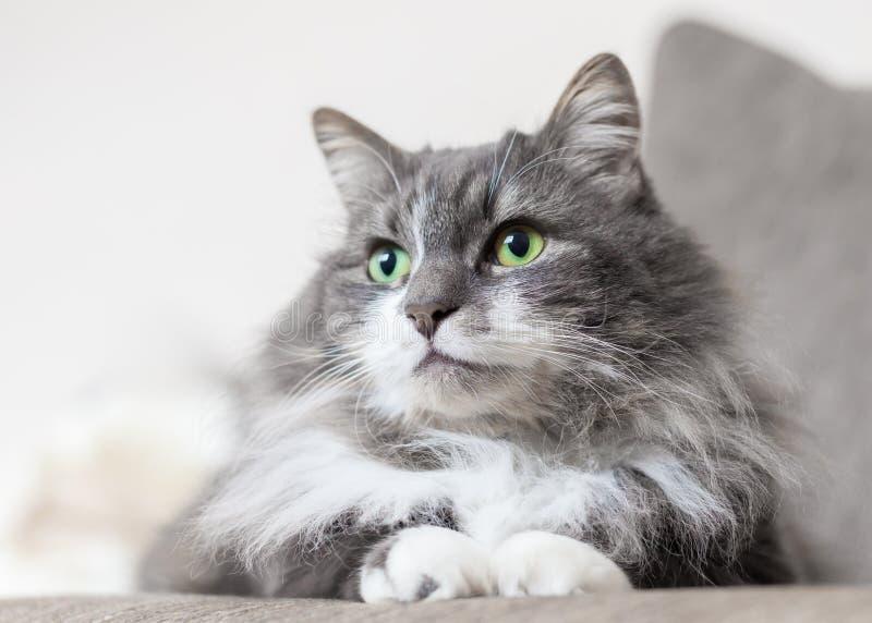 Occhi di gatti di verde del gatto dell'animale domestico fotografia stock