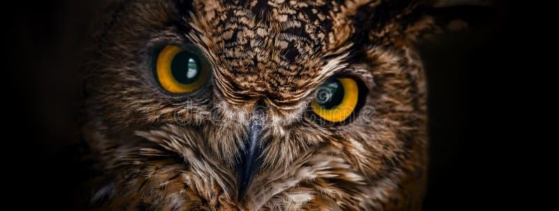 Occhi di giallo della fine del gufo cornuto su su un fondo scuro immagini stock
