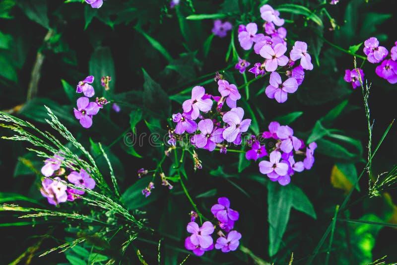 Occhi di rosa dei fiori immagini stock