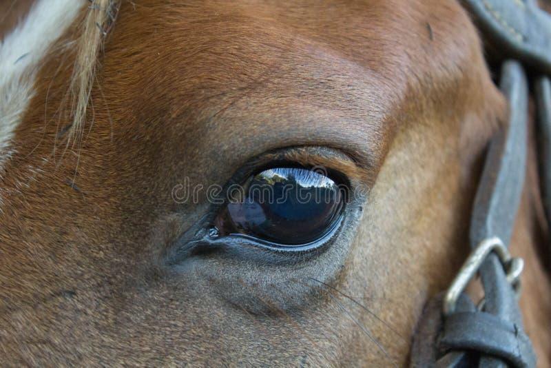 Occhi di un cavallo peruviano preso vicino su fotografia stock