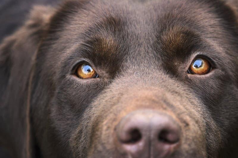 Occhi femminili di labrador retriever del cioccolato concentrati immagine stock libera da diritti