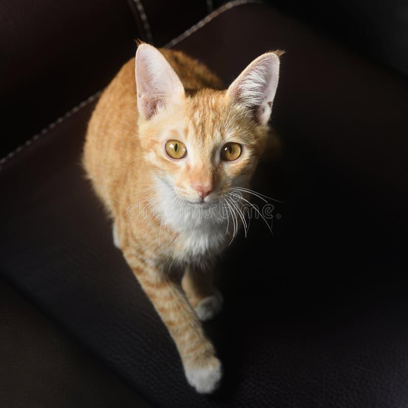 Occhi innocenti del gatto dell'animale domestico del primo piano fotografia stock libera da diritti