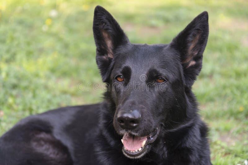 Occhi intensi del bello cane da pastore tedesco immagini stock libere da diritti