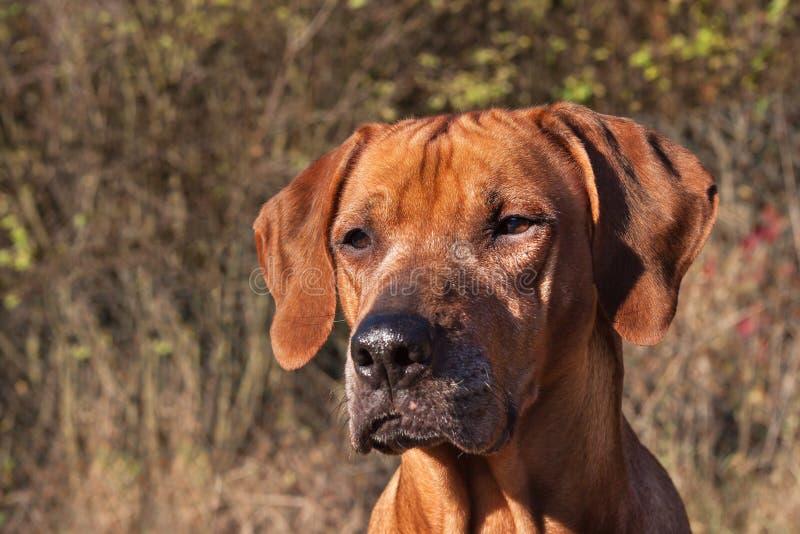 Occhi tristi del cane Rhodesian Ridgeback Bello ritratto del cane del ridgeback di Rhodesian Esaminare gli occhi del cane fotografie stock