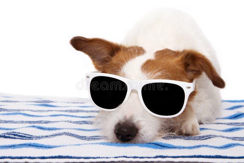 Occhiali da sole d'uso di estate del bagno del cane e riposare sull'asciugamano fotografia stock