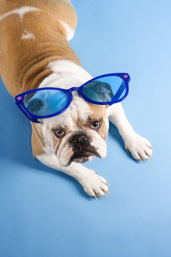 Occhiali da sole da portare del bulldog. fotografia stock libera da diritti