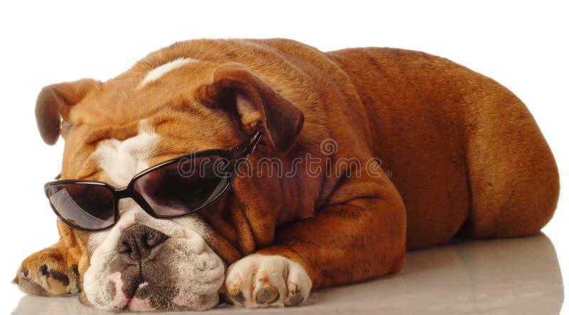 Occhiali da sole da portare del bulldog immagine stock libera da diritti