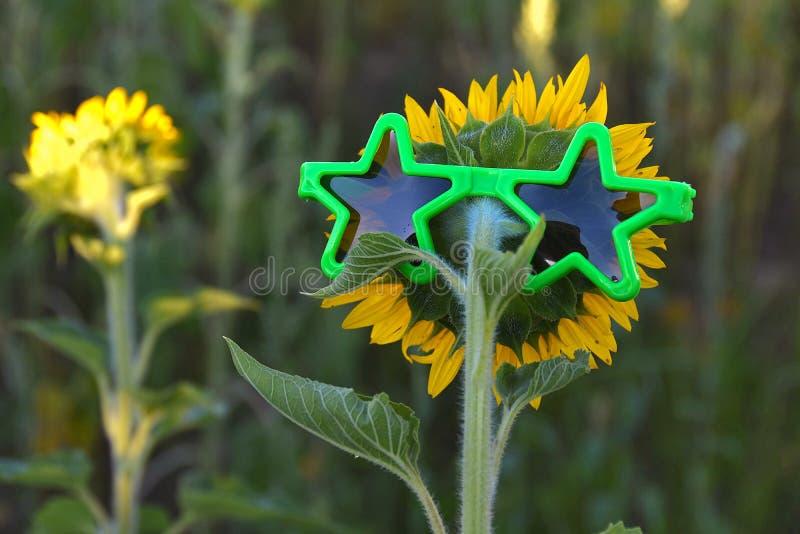 Occhiali da sole della stella sul girasole immagini stock libere da diritti