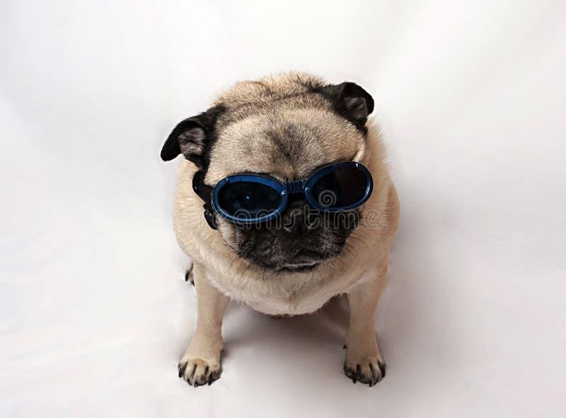 Occhiali di protezione da portare del Pug fotografie stock