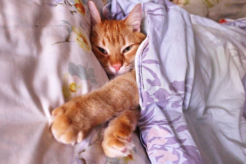 Occhiata di Sly uno zenzero a Gatto rosso che dorme in una posizione accogliente sul letto fotografie stock libere da diritti